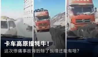 卡車撞牦牛!這次慘痛的事故該如何看待